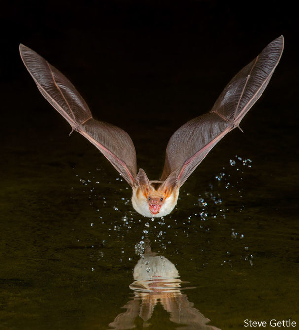 Pallid Bat Drinking, Elephant Head Pond Arizona Nikon  D4S, 600mm, 20 seconds @ f20, ISO 400 4 flashes Infrared Trigger Image cropped 20% for final composition