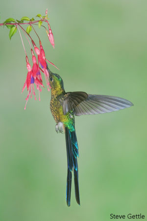 Violet-tailed Sylph , Tandayapa Valley Ecuador  Nikon D300S, 200-400 zoom, 1/200th @ f16, ISO 200, 7 flashes @ 1/16th power