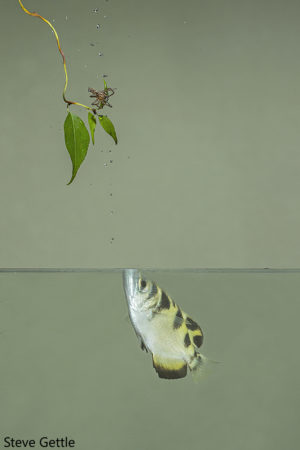 A near miss (photographically) the Archerfish never misses