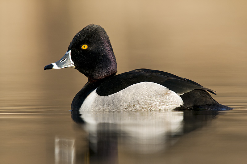 Drake ring neck duck portrait