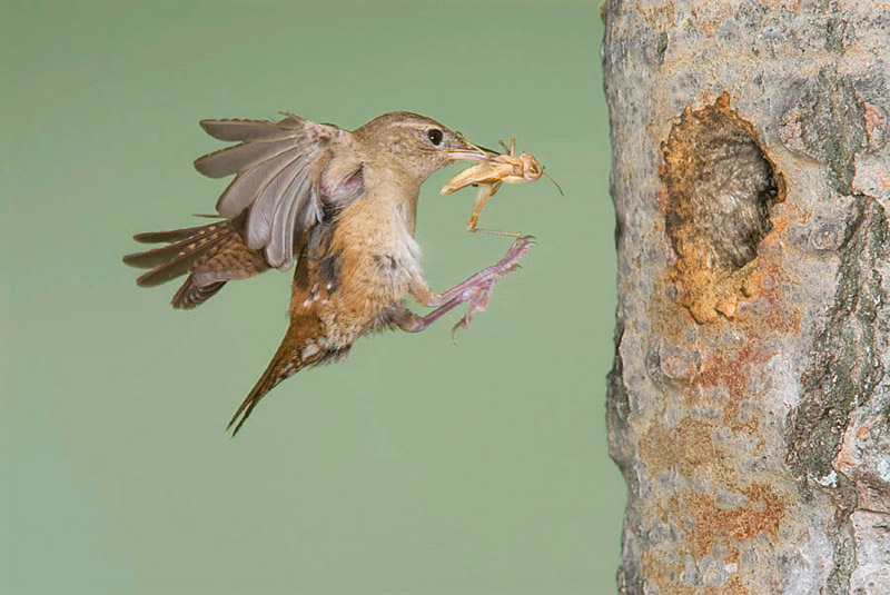 HOUSE WREN BRINGING GRASSHOPPER TO YOUNG