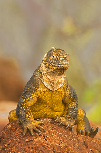 land-iguana.jpg