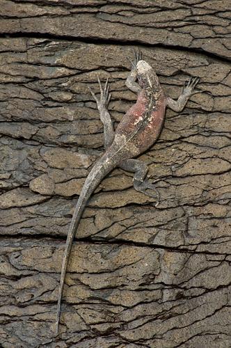 marine-iguana.jpg