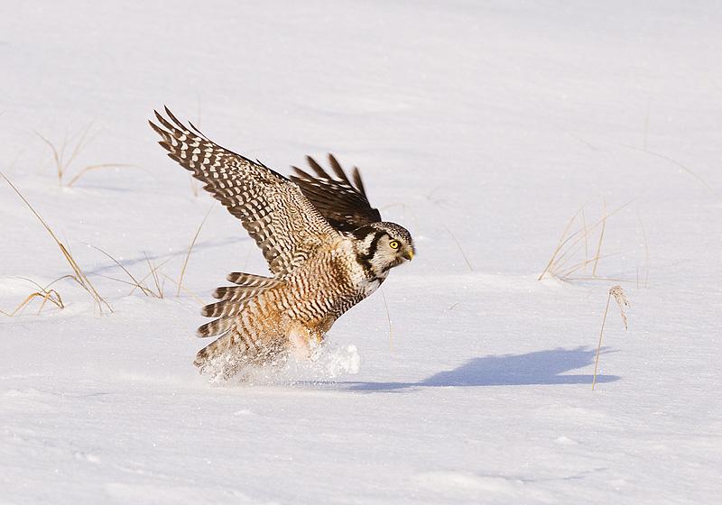 Northern Hawk Owl having breakfast