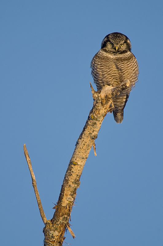 Norhtern Hawk Owl