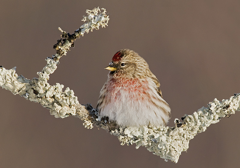 Common Redpoll keeping warm