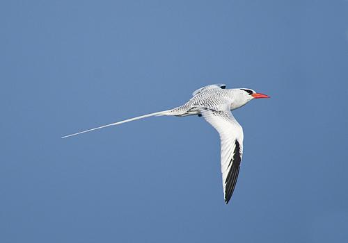 tropic-bird.jpg