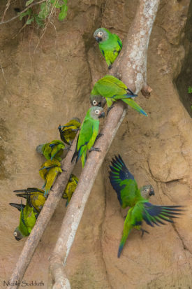 Amazon parrot clay lick